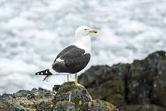SouthShetland-2016-Livingston Island (Hannah Point)–Kelp gull (Larus dominicanus).jpg