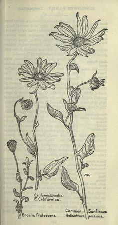 (1915) - Field book of western wild flowers, - Biodiversity Heritage Library