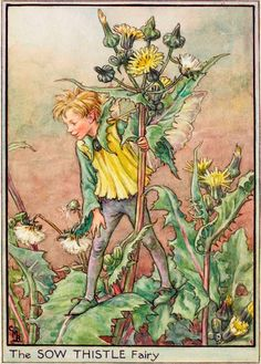 The Sow Thistle Fairy - Flower Fairies of the Wayside
