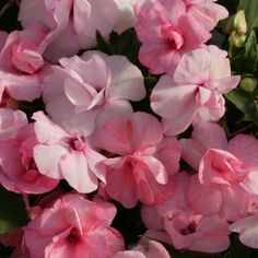 100 Impatiens Seeds Double Royal Flush Pink
