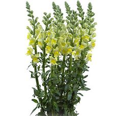 **Bride/Bridesmaids Bouquets**                         - Yellow Snapdragon Flower  - I wanted to accent some yellow into the bouquets but I don't know if this flower will not look good amongst the other flowers.