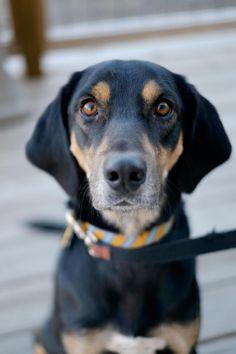 Hodges - English Shepherd/Hound mix - Adult - Male - Streetdog Foundation - Memphis, TN. - http://streetdogfoundation.com/adoptable-pets/ - https://www.facebook.com/streetdogfoundation/timeline?ref=page_internal - https://www.petfinder.com/petdetail/29917374/