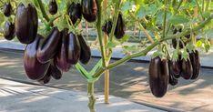 Plantar, Eggplant, Vegetables, Flowers, Gardening, Cooking, Food, Harvest, Horticulture