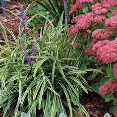 Variegated Lilyturf, ever green, fall purple flowers, moist but well drained soil;