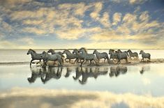 A herd of white horses gallop through a calm saltwater delta, kicking up spray as they race wildly against the setting sun. Their movements become blurred as they rush along the remote landscape, slowing to a single line when the leader decides he's had enough.The animals belong to several ranches of the Camargue which lies in the Rhone River, in southern France.