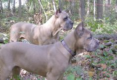 """These dogs would be fawn with a black mask if they weren't homozygous for dilution. As you can see dilution affects both red and black pigment resulting in a lightening of the fawn coloration and a """"blue"""" mask. Cane Corso Italian Mastiff, Cane Corso Mastiff, Cane Corso Dog, Pretty Animals, Animals Beautiful, Cute Animals, Coyotes, Bulldogs, Funny Dogs"""