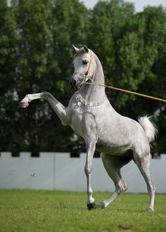 Very striking and beautiful pose performed by this awesome grey Arabian horse