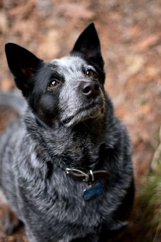 My Australian Cattle Dog - Pele - there is no better breed!