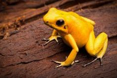 he gon kill u Species: Golden Poison Frog Golden Dart Frog, Dinosaurs Extinction, Poisonous Animals, Pet Frogs, Small Frog, Poison Dart Frogs, Frog Art, Frog And Toad, El Dorado
