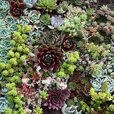 A succulent garden wall... Isn't this just beautiful! This would look perfect inside the home with a black or chocolate brown distressed wooden frame. A perfect conversation starter!