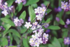 Alaska State Flower: forget-me-not.  Who can forget once you have visited!
