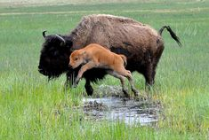 Bison are an iconic symbol of the American West. Once numbering more than 50 million animals across the plains, bison are now mainly relegated to a few captive herds. Nature Animals, Animals And Pets, Baby Animals, Cute Animals, Wild Animals, Beautiful Creatures, Animals Beautiful, Baby Bison, Baby Buffalo