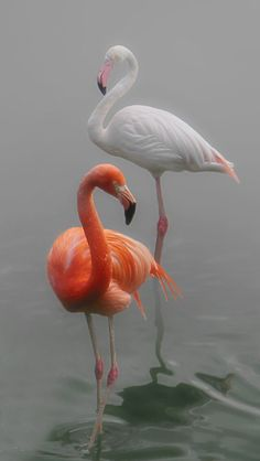 Amazing wildlife - Flamingos photo by Lena Painter Pretty Birds, Love Birds, Beautiful Birds, Animals Beautiful, Cute Animals, Flamingo Photo, Flamingo Art, Pink Flamingos, White Flamingo