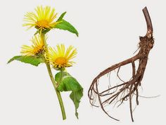 Elecampane This Amazing Herb Clears Out the Lungs But Does So Much More
