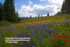 Shrine Pass Wildflowers near Breckenridge and Vail Colorado