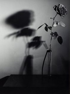 Robert Mapplethorpe Rose, N.Y.C. (Y Portfolio) 1977