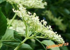 domácí med a šťáva-sirup z květů černého bezu Med, Plants, Syrup, Plant, Planets
