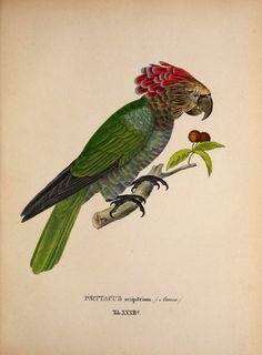 New species of birds from Brazil in the years 1817, 1820 by Spix, Johann Baptist von, 1781-1826; Martius, Karl Friedrich Philipp von, 1794-1868; Schmidt, Matthias, 1749-1823 Publisher: Monachii : Impensis editores Year: 1838 contributor: Smithsonian Libraries http://68.media.tumblr.com/c85fc2d321cff318e42092ee5b717da4/tumblr_ogy7m7t81P1rub9fao2_1280.jpg