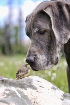 Sweet photo of a Great Dane and little bird