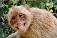 Sate Monyet Jamu Ilegal di Jakarta  Konforntasi -Meski terdengar seperti kuliner sate monyet tentu sangat tak lazim. Selain ilegal membayangkan primata ini menjadi santapan dengan kedok jamu tentu sangat memprihatinkan.  Fakta ini dilansir dari merdeka.com Jumat (9/12/2016) dapatkan di beberapa sudut ibu kota. Sate monyet bisa dengan mudah didapat.  Seporsi berisi 10 tusuk sate monyet dihargai Rp 60 ribu. Sedangkan sup kepala monyet paling murah Rp 300 ribu dan mesti dipesan terlebih dahulu…