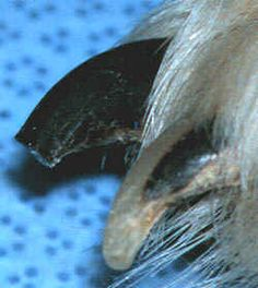 A correctly cut dark colored nail. The BEST info and pictures on trimming a dog's nails. Includes end shots of dark nails that will help you determine where to stop.