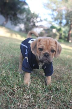 Linebacker puggle puppy :) I want a puggle so bad.... Just gonna need to get that chargers jersey off of him!!