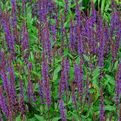 Salvia can be propagated using rooting hormone. Attracts butterflies. (photo via @Fine Gardening)