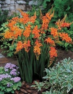 Crocosmia (Montbretia)  These are very easy to grow. The orange flowers are trumpet shaped and appear alternately along the stems. The leaves are long and narrow.  This is one of the few summer flowers  that are not eaten by the deer.