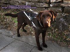 Dark brown chocolate Lab guide Labrador Retriever Guide Dogs