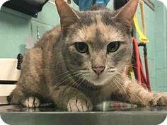 Brooklyn, NY - Domestic Shorthair. Meet GUMBALL, a cat for adoption. http://www.adoptapet.com/pet/17930051-brooklyn-new-york-cat
