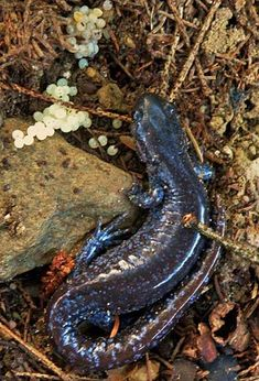Blue spotted salamander with eggs