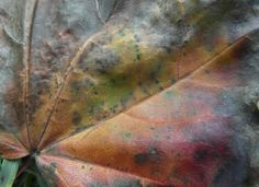 Maple leaf photography  Autumnal study  autumn by SumertaDesigns