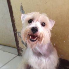 My gorgeous Arnold #arnoldthewhiteschnauzer #miniatureschnauzer #miniatureschnauzerlover #whiteschnauzer #dog #doglover #dogoftheday #schnauzer #schnauzerfamily #myboy #canin #handsomedog #happydog #naugthydog #igdaily #inst