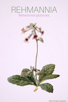 Rehmannia glutinosa for adrenal and pituitary stress, auto-immune regulation***, thyroid, ...