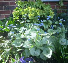 Hellebore and Brunnera 'Looking Glass'