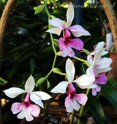 Fotografía de las flores de la especie Calanthe vestita