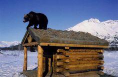 Alaska Wildlife Conservation Center   Portage
