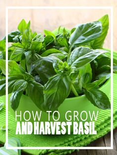 How to Grow and Harvest Basil - Homesteading and Health