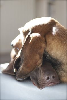 Best buddies.  Love the GSP nose poking through.  photo by superclaerchen, via Flickr