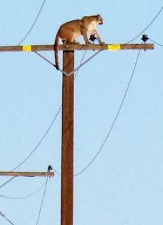Um leão de montanha está em um pólo de telégrafo