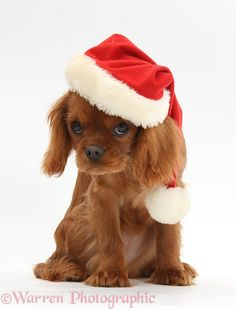 Photograph of Ruby Cavalier King Charles Spaniel pup, Flame, 12 weeks old, wearing a Father Christmas hat. Rights managed white background Dog image. Perro Cocker Spaniel, Cavalier King Spaniel, Baby Puppies, Cute Puppies, Cute Dogs, King Charles Puppy, King Charles Spaniel, Christmas Puppy, Christmas Animals