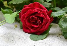 Red rose flower on top of gray concrete flooring Healthy Filling Snacks, Healthy Snacks For Diabetics, Red Rose Flower, Red Roses, Diy Galaxy, Green Beans And Tomatoes, Rose Images, Growing Roses, Aromatic Herbs