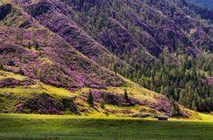 Праздник «Цветение маральника» в Алтайском крае в 2015 году