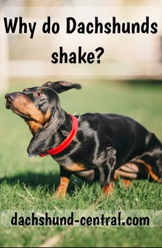 If you are a Dachshund owner you might have seen your dog shivering for no reason. This behavior is normal for small dog breeds like dachshunds. Dapple Dachshund, Long Haired Dachshund, Dachshund Puppies, Weenie Dogs, Dachshund Love, Corgi Dog, Chihuahua Dogs, Pet Dogs, Dogs And Puppies