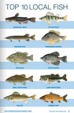 fishing tips chart - Fishing Tank - Ideas of Fishing Tank - fishing tips chart Bass Fishing Shirts Idea Crappie Fishing Tips, Fishing Lures, Fishing Ontario, Fish Chart, Bass Fishing Shirts, Fish Information, Fish Sculpture, Kunst Poster, Types Of Fish