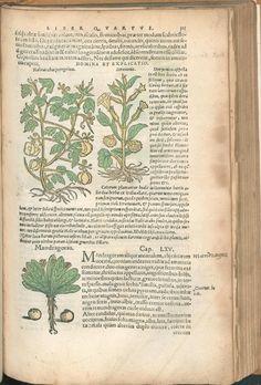 Mandragora, 1543, Sir Hans Sloane, Pedanii Dioscoridis Anazarbei De medicinali materia libri sex, Franc[oforti] ; Marburg, apud Chr. Egenolphum, P. 333