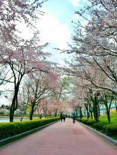 Cherry blossom in Song pa naru park, lake seokchon , south korea Cities In Korea, New Start, South Korea, Seoul, Cherry Blossom, Sidewalk, Country Roads, Park, City