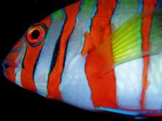 Close up of head of Harlequin Tuskfish, Choerodon fasciatus