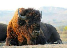 Buffalo (Tatonka) - a most sacred animal. The hide offered warmth, bones made tools, meat offered life for the Native Americans. Buffalos are huge, gentle creatures and should be respected ♥