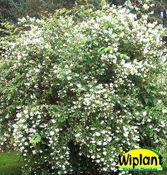 Philadelphus lew. 'Waterton', Norrlandsschermin. Vita, lätt doftande blommor. Höjd: 2 m.